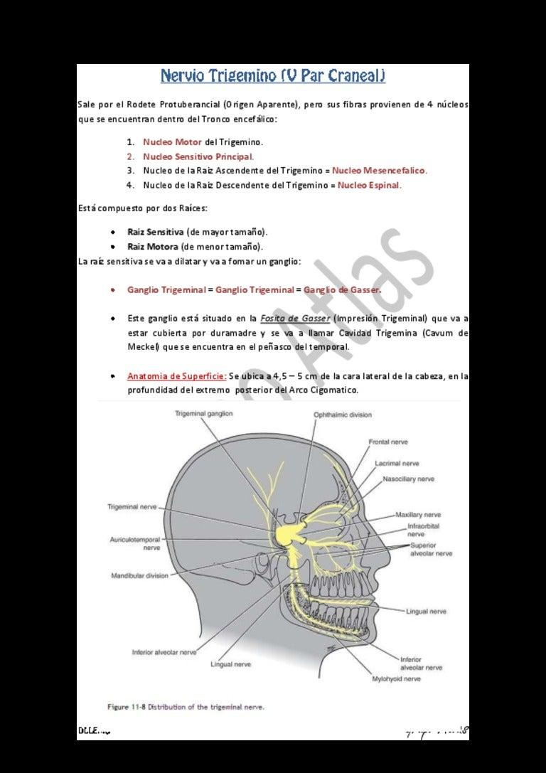 Nervio trigemino (V PAR) RAMAS Grupo Atlas GERG