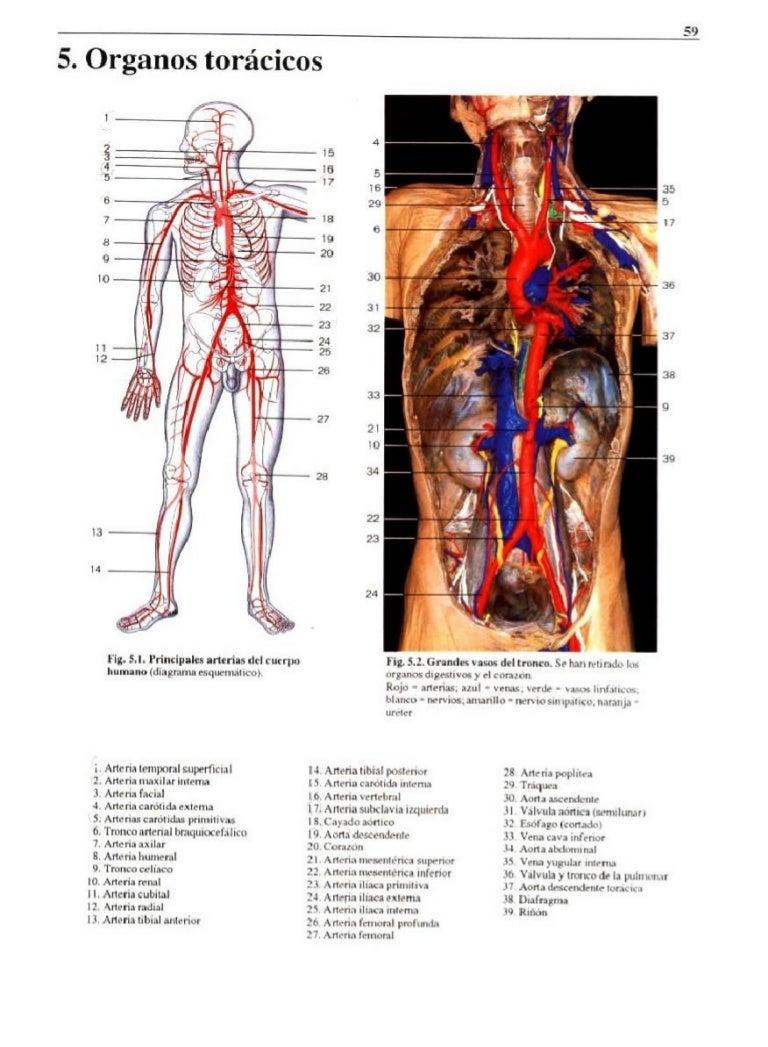 Organos del torax, abdominales y retroperitoneales.