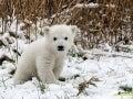 Oso polar polar-bear