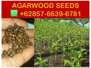 Suppliers +62 857-6639-6781 - Agarwood seeds ebay - agarwood seeds for sale in india