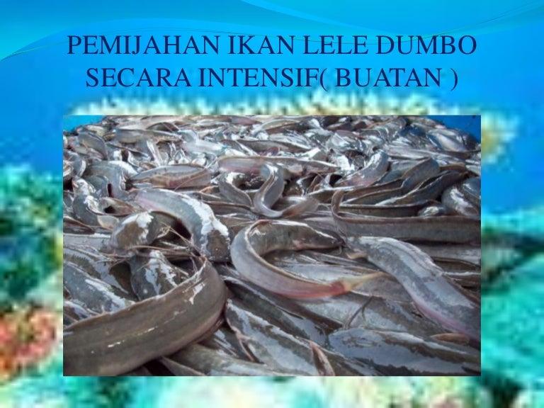 Unduh 540 Koleksi Gambar Pemijahan Ikan Lele Sangkuriang HD Terbaik