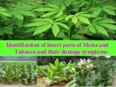 Pest of mesta & tobacco