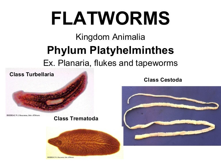 exemple de platyhelminthes turbellaria)