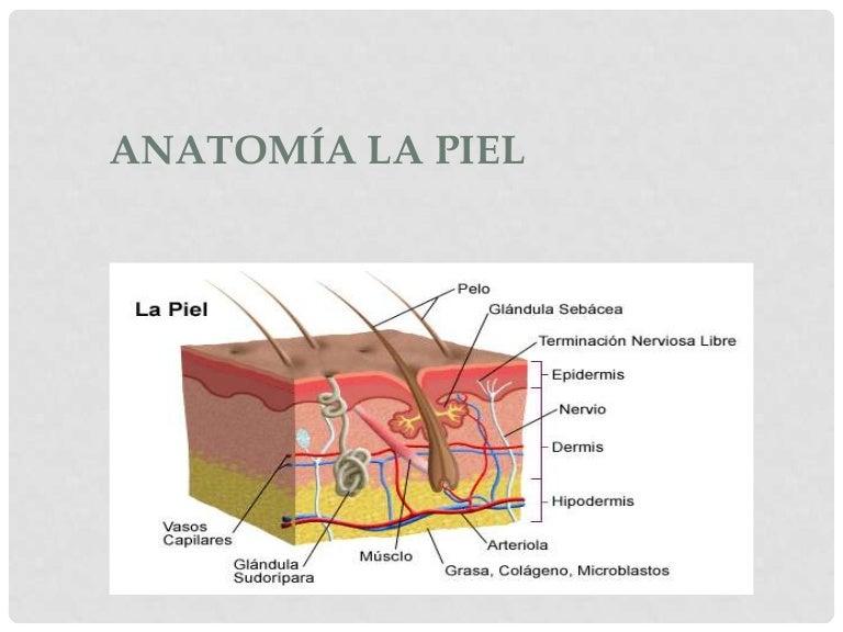 Fantástico Anatomía De La Dermis Cresta - Anatomía de Las ...