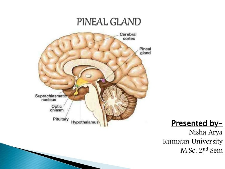 Pineal gland (Endocrinology)