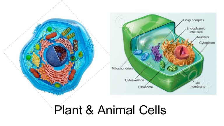 Plant animal cell ccuart Image collections