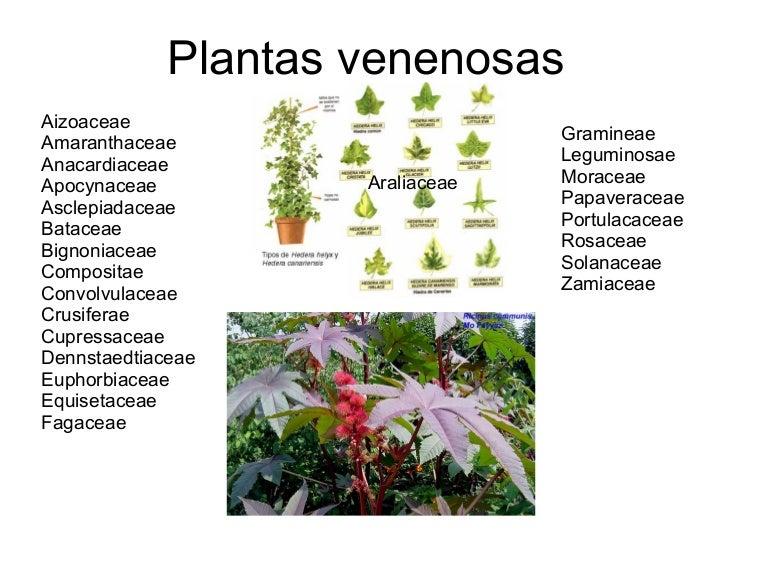 Plantas venenosas for Cuales son las plantas ornamentales y sus nombres