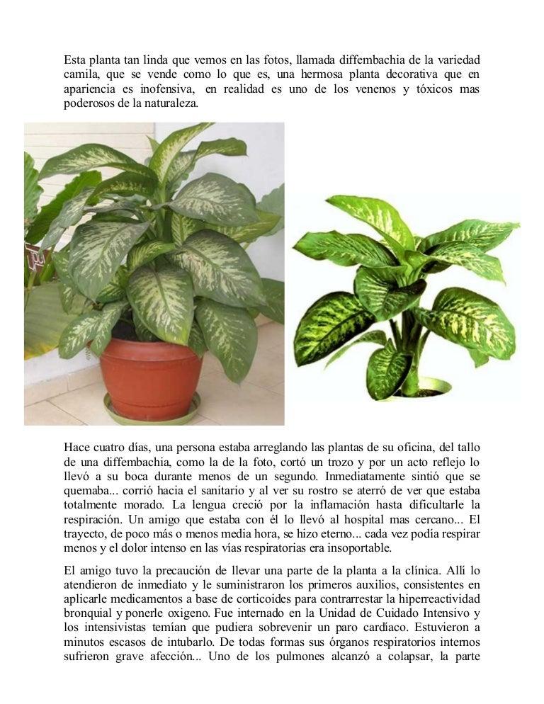 Planta venenosa for Planta ornamental venenosa dieffenbachia