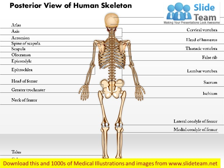 Posterior view of human skeleton medical images for power point ccuart Choice Image