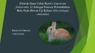 Ekstrak daun cabai rawit sebagai pemacu petumbuhan bulu pada hewan uji kelinci