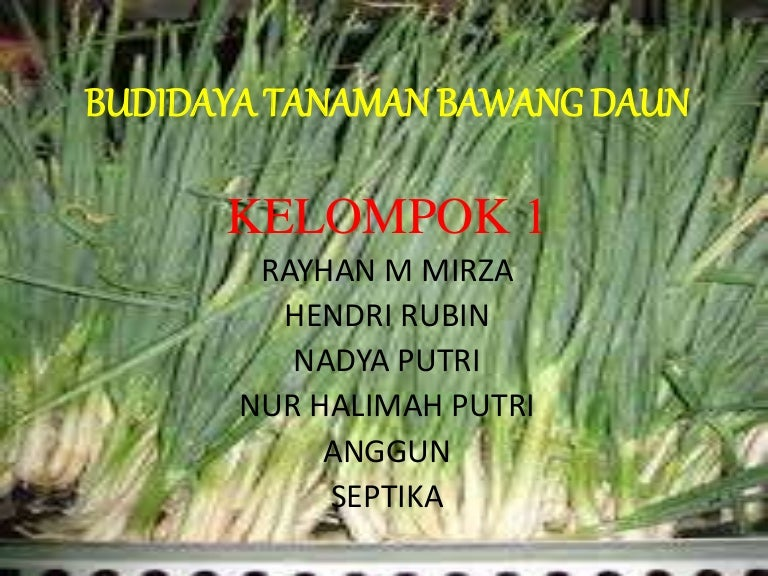 Budidaya Bawang Daun