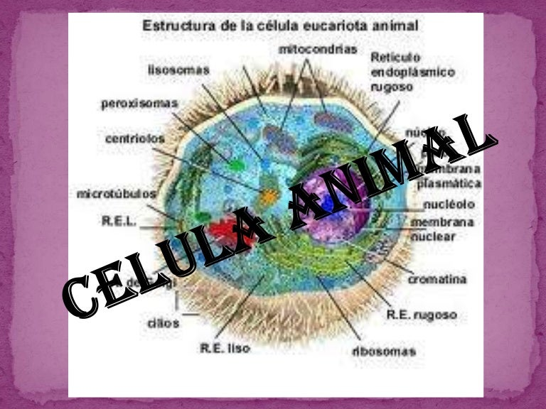 Presentacion De Celula Animal