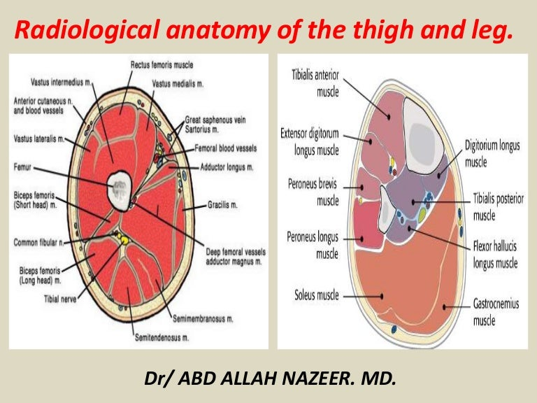Presentation1pptx Radiological Anatomy Of The Thigh And Leg