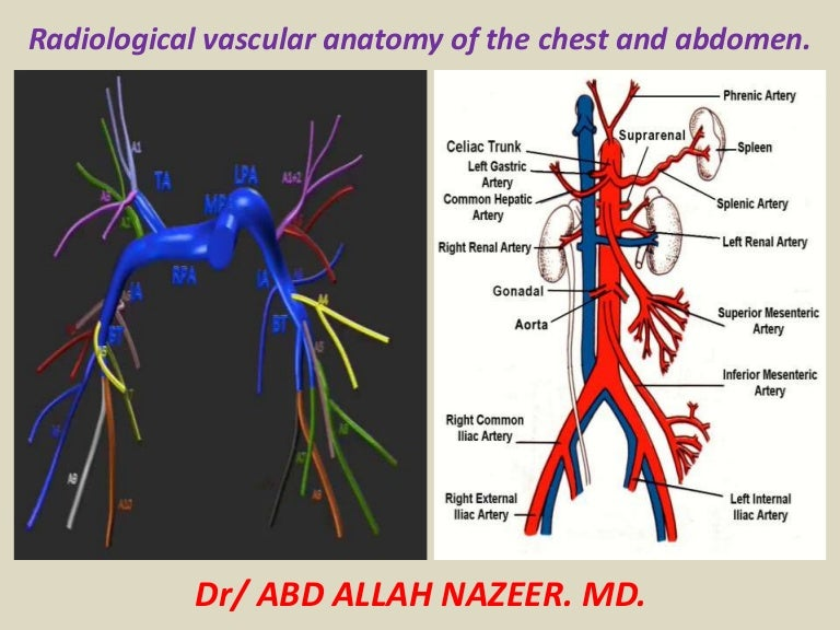 Presentation1.pptx, radiological vascular anatomy of the chest and ab…