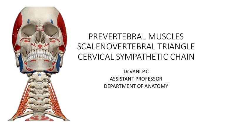 Prevertebralmuscles 160401051124 Thumbnail 4gcb1459487495
