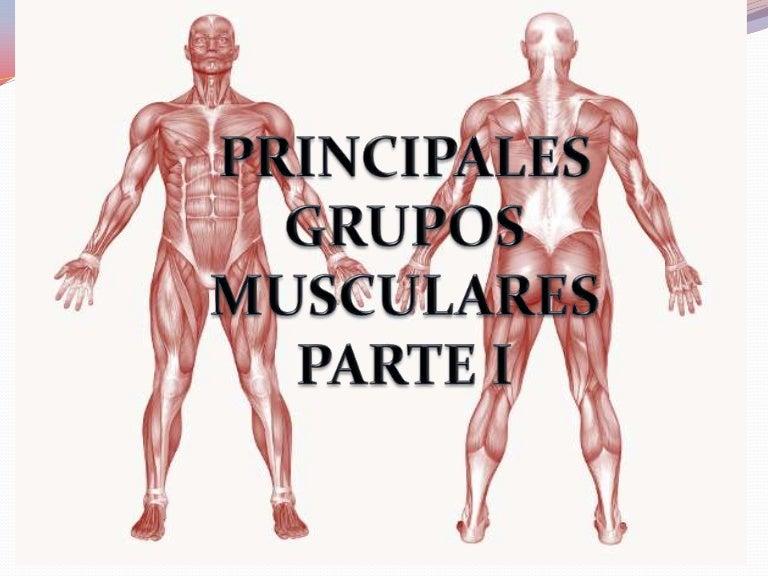 Principales grupos musculares (parte i)