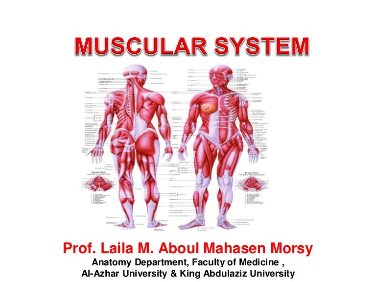 Prof Laila Muscular System 2018