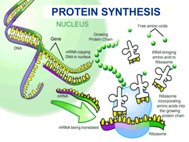 Rna And Protein Synthesis Diagram Schematics Wiring Diagrams