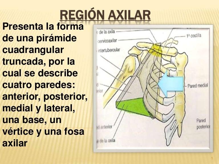 Región axilar anatomia