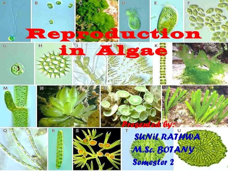 Oscillatoria asexual reproduction