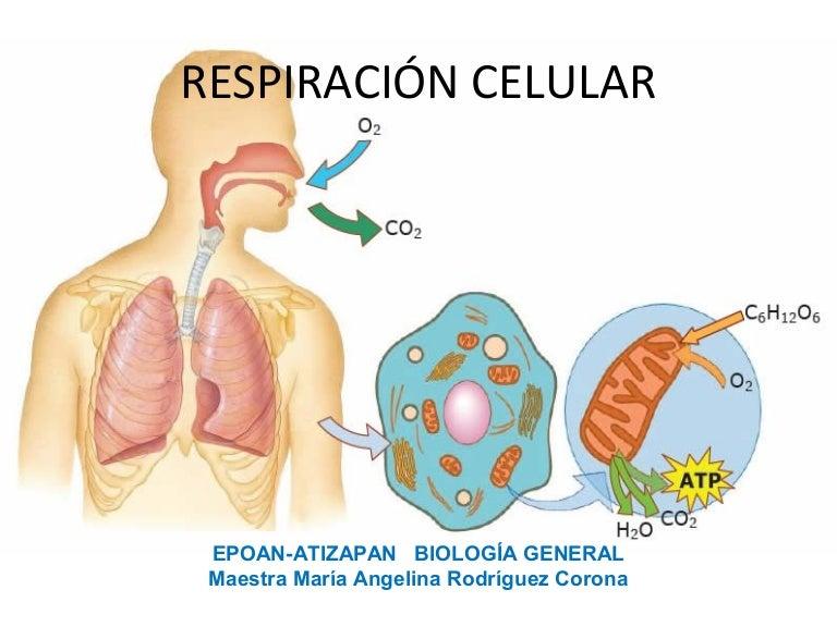 https://cdn.slidesharecdn.com/ss_thumbnails/respiracincelularpresentacin1-141102225516-conversion-gate02-thumbnail-4.jpg?cb=1414969097