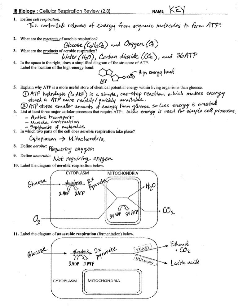 IB Respiration Review Key 28 – Cellular Respiration Worksheet Answer Key