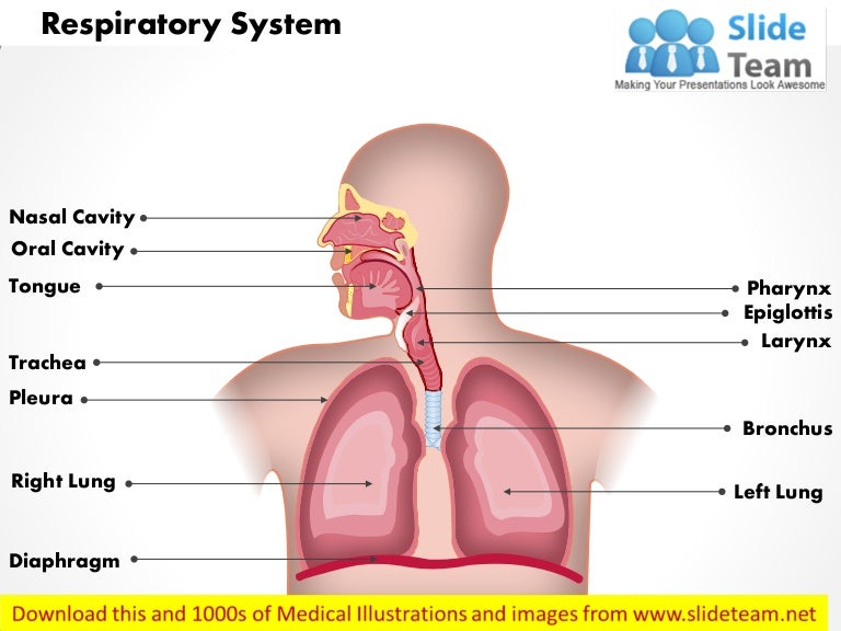 Respiratory System Medical Images For Power Point
