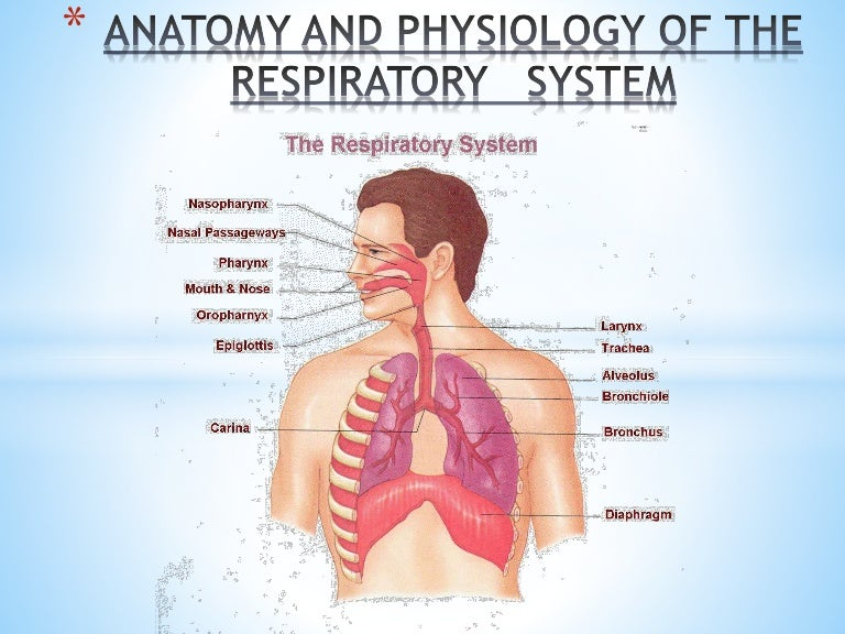 Human Respiratory System Anatomy and Physiology