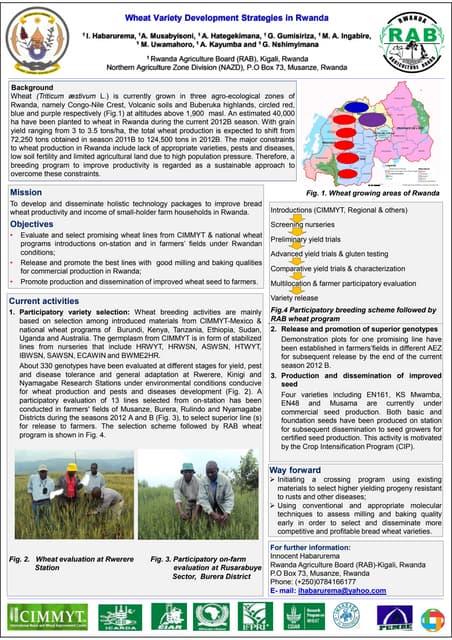 Wheat varieties development strategies in Rwanda
