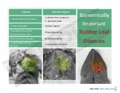 Economically Important Leaf Diseases of Rubber