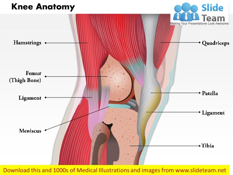 Side View Of Knee Human Anatomy Medical Images For Power Point