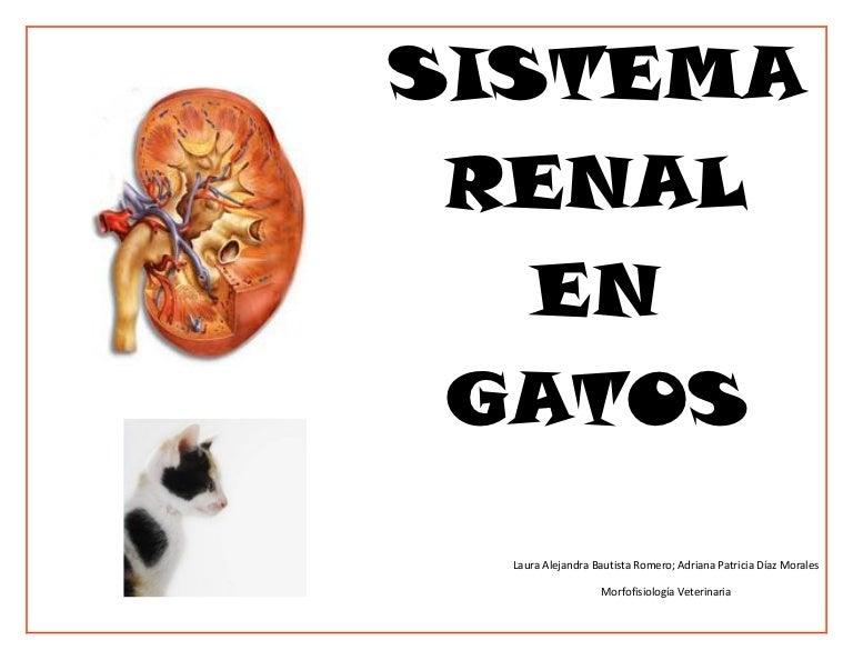 Sistema renal gatos