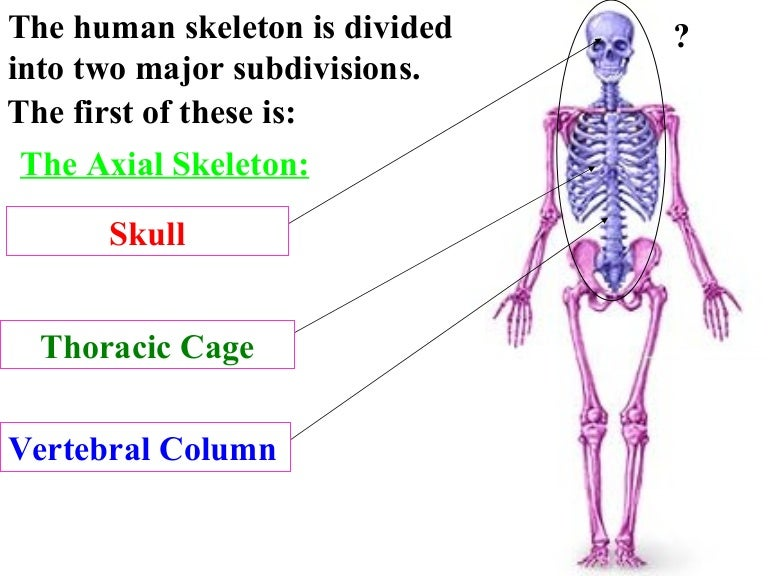 skeleton system review, Skeleton