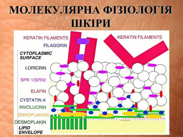 Молекулярна фізіологія шкіри