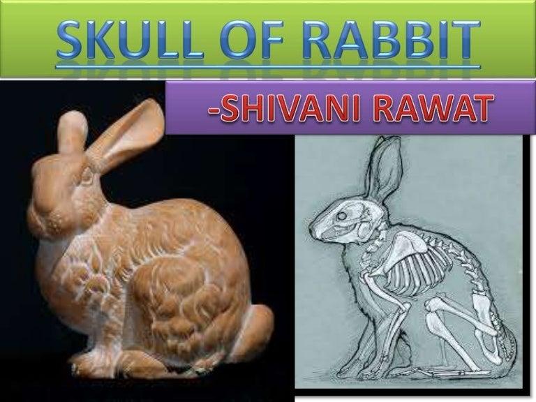 Skull Of Rabbit