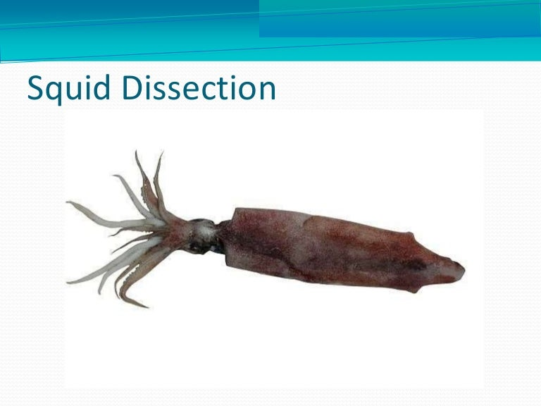 Squiddissection 160429160203 Thumbnail 4gcb1461953449