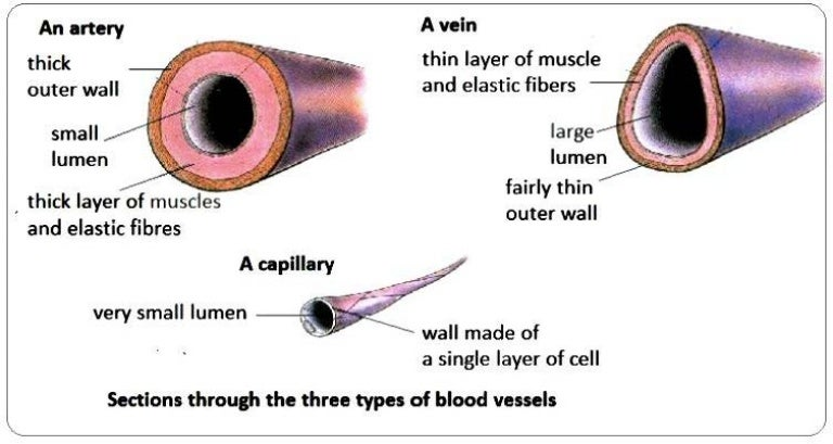 structure of veins