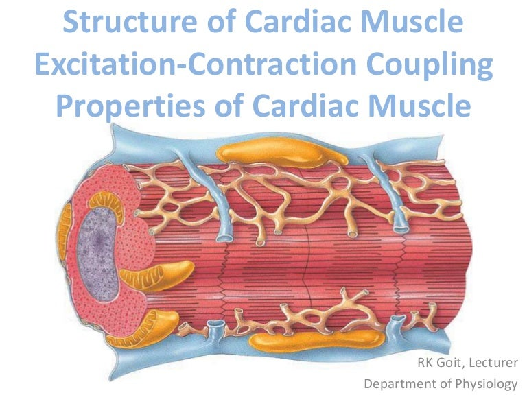 Structure of cardiac muscle excitation contraction coupling propertie…