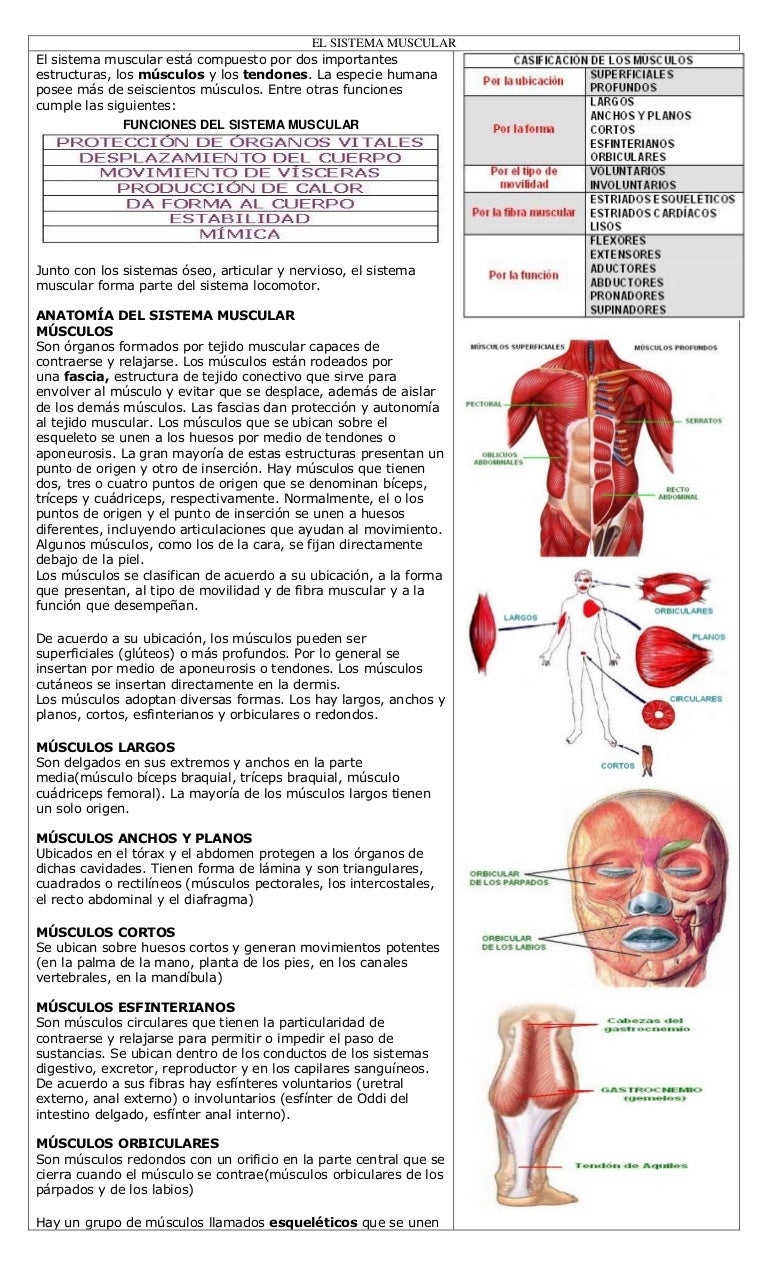 Talleres musculares humanos