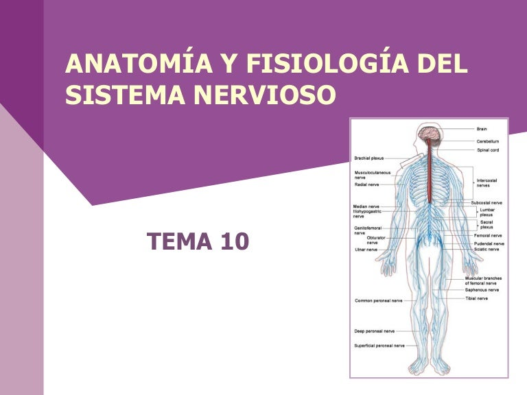 Contemporáneo Anatomía Humana Y Fisiología Amerman Composición ...