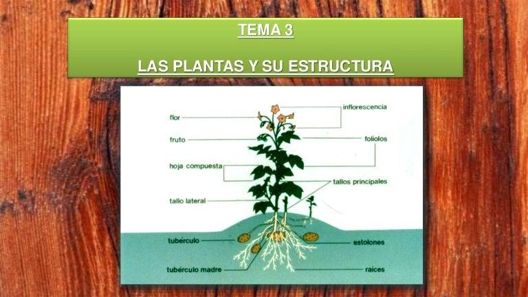 Las plantas y su estructura - Anatomia de la raíz