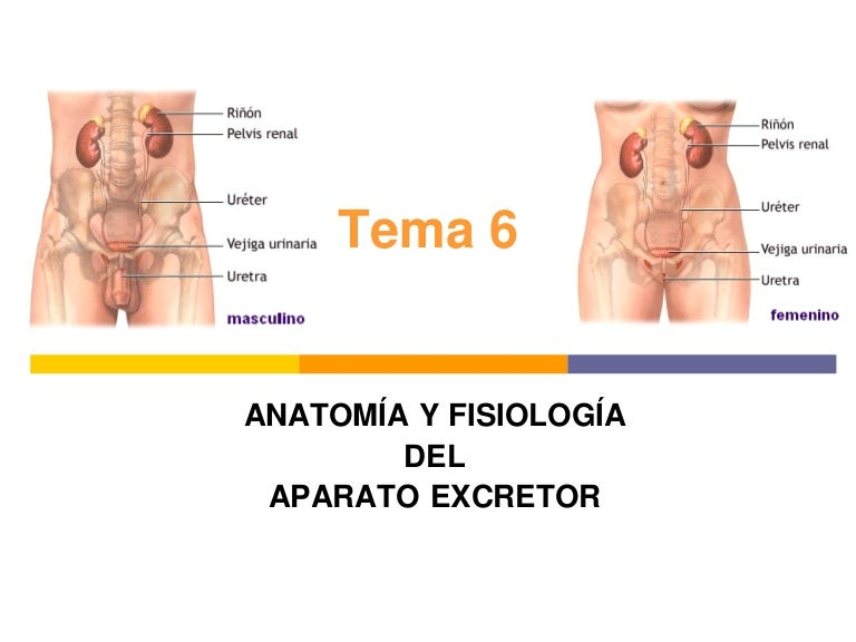 tema6aparatoexcretor-120205053421-phpapp02-thumbnail-4.jpg?cb=1424610576