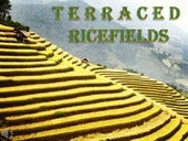 Terraced ricefields (v.m.)