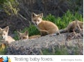 Testing Baby Foxes