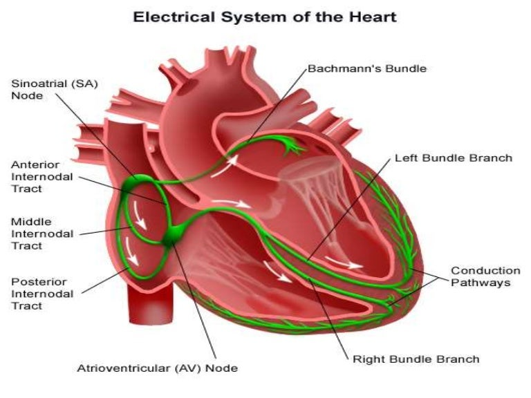 The Electrical Conduction System of the Heart - now with audio!