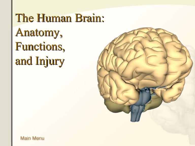 The Human Brain Anatomy