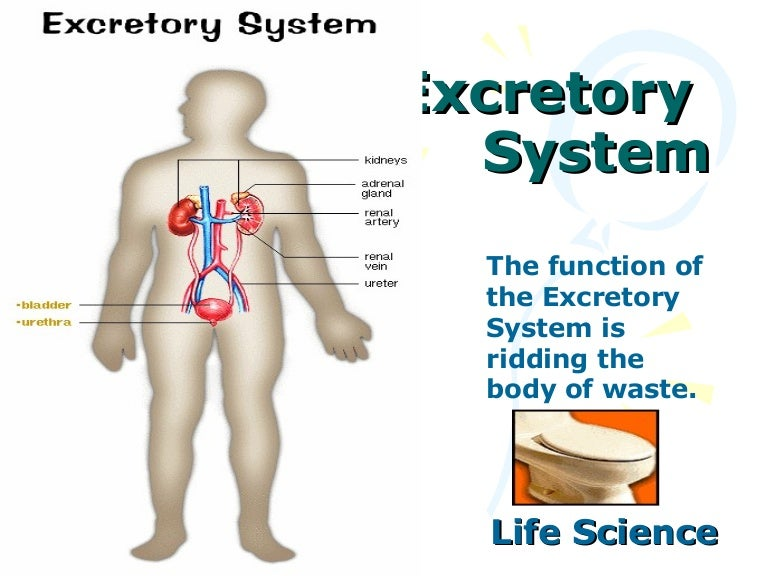 Diagram Of The Excretory System For Kids