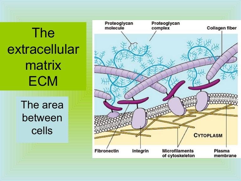 Extrazellulärmatrix