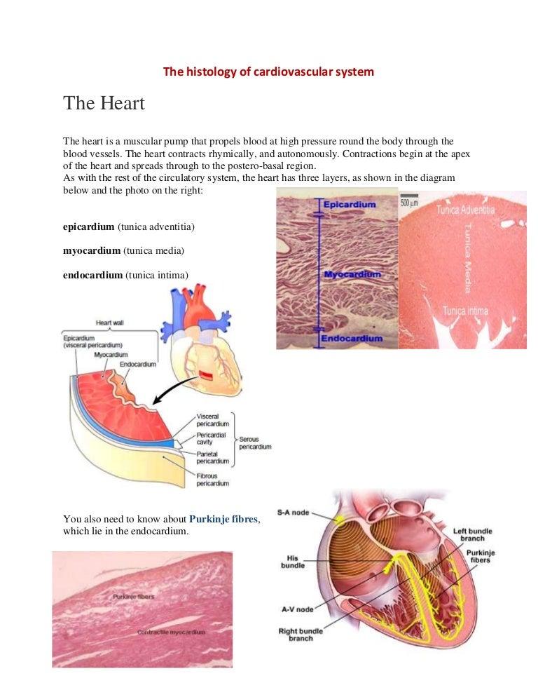 the histology of cvs