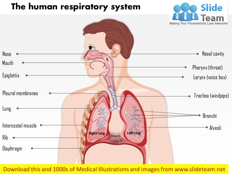 The human respiratory system medical images for power point ccuart Gallery